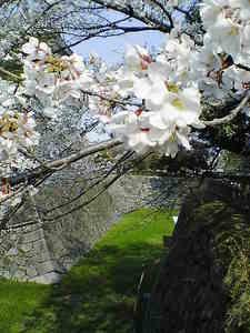 お堀の桜.jpg